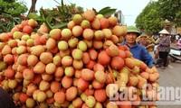 短短1天内在日本销售了2吨越南荔枝