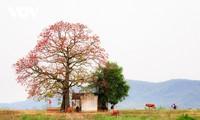 三月份盛开在苍江边的木棉花