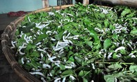 Mulberry farming and sericulture developed in Thanh Hoa province
