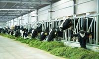 Vinamilk on the way to develop Vietnam's dairy industry