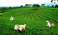 Vietnam exports 14,000 tonnes of tea to Taiwan in nine months