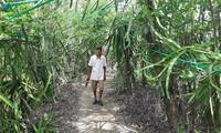 Growing dragon fruit on avicennia trees in Ca Mau proves profitable