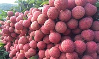 Hai Duong's fresh lychees exported to Thailand for first time