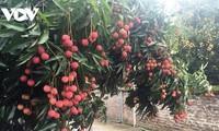 Online portal sells Bac Giang lychees