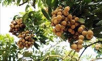 Farmers benefit from longan export