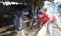 Hre people raise buffalos to escape poverty