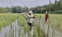 Hau Giang begins rice-field-based fish breeding as flood season comes