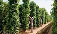 Le poivre vietnamien