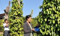Labeliser le poivre vietnamien