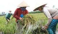 Agriculture vietnamienne face au changement climatique