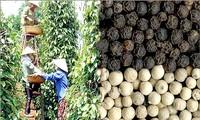 Vietnam,  premier exportateur mondial de poivre