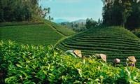 La valeur d'exportations du thé a atteint 37 millions de dollars