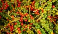 Le fameux poivre rouge de Phu Quoc