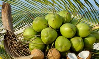 Les fameux cocotiers de Ben Tre