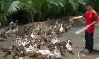Le delta du Mékong opte pour l'élevage des canards maritimes