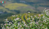 Ha Giang à la saison des fleurs de sarrasin
