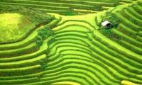 Budaya cocok tanam sawah terasering di daerah pegunungan Vietnam Utara