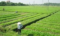 Membangun daerah produksi hasil pertanian titik berat: Cara  baik yang dilakukan provinsi Quang Ninh