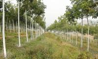 Pohon karet menghijaukan daerah perbukitan Yen Bai