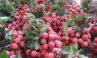 Siap bagi festival buah-buahan yang pertama di Vietnam Utara