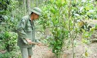 Warga etnis minoritas Dao di Provinsi Quang Ninh mengkonservasikan sumber bahan farmasi daerah