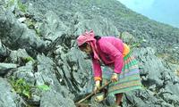 """Warga etnis minoritas Mong """"memaksa"""" batu berbunga melalui teknik cocok tanam"""