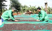 Cafeto: árbol de alto valor para el desarrollo económico de Tay Nguyen