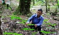 Prosperan étnicos Xo Dang merced a plantas medicinales