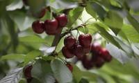 El mercado de Vietnam abierto para cerezas chilenas
