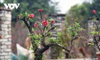 Especies valiosas de melocotonero en Hanói solo para alquilar