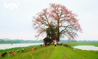 El árbol de algodón de seda roja a la orilla del río Thuong, fuente de inspiración de artistas