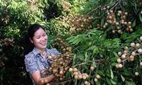 Leci dan Kelengkeng Vietnam direncanakan  akan berada di pasar Amerika Serikat pada akhir tahun ini.