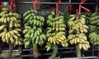 Dai Hoang king banana