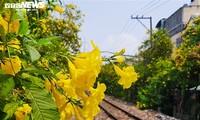 Hoa huỳnh liên vàng rực dưới nắng Sài Gòn