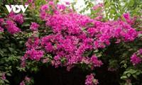 Ngắm hoa giấy đẹp rực rỡ giữa mùa hè Hà Nội