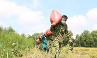 Bộ đội xuống đồng giúp nông dân TP.HCM thu hoạch lúa trong mùa dịch