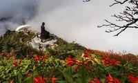 Mênh mông sắc vàng cam của hoa dơn lúa đẹp kiêu sa trên đỉnh Fansipan