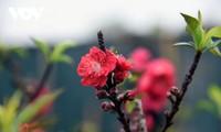 希少な種類の桃の花