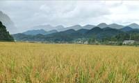ソンラ省ムオンバ村のもち米