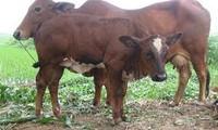 靠养牛致富的太平省小伙子