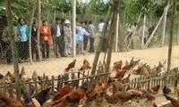 在加入TPP前夕提高越南家禽饲养业竞争力