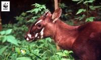 越南将建立世界上第一个安南锭角羚繁育中心