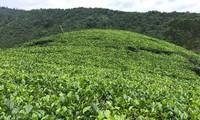 让罗朋茶走向国际市场