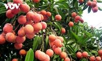 对日本出口荔枝数量增加,经济效益高