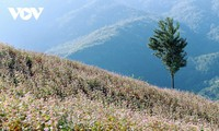 Hà Giang en pleine saison de fleurs de sarrasin