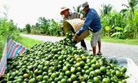 Bauern im Mekong-Delta und nachhaltige Entwicklung der Landwirtschaft