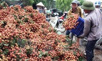 Vietnam wird im Mai ersten Container Litschi in die USA exportieren