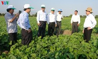 Ninh Thuan ändert Pflanzenarten, um sich an die Dürre anzupassen