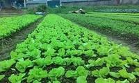 Gemüseproduktion und Zucht der Honigbienen zur Armutsminderung in Ha Giang
