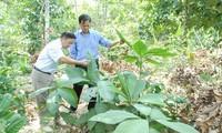 Die Dao in der Provinz Quang Ninh bewahren Heilpflanzen
